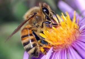 abeilles_jpg